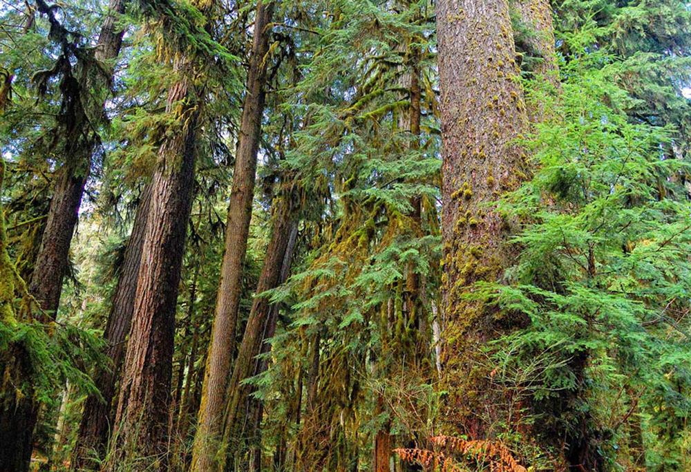 Western Hemlock & Douglas-fir